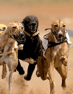 racingdogs_plus_phone